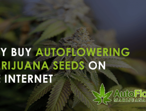 auto-flowering marijuana seeds