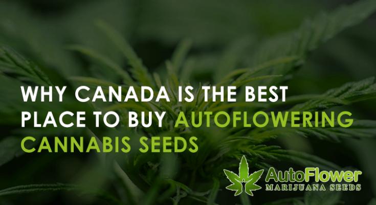 buyautofloweringcannabis seedsuk