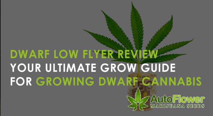 growing dwarf low flyer