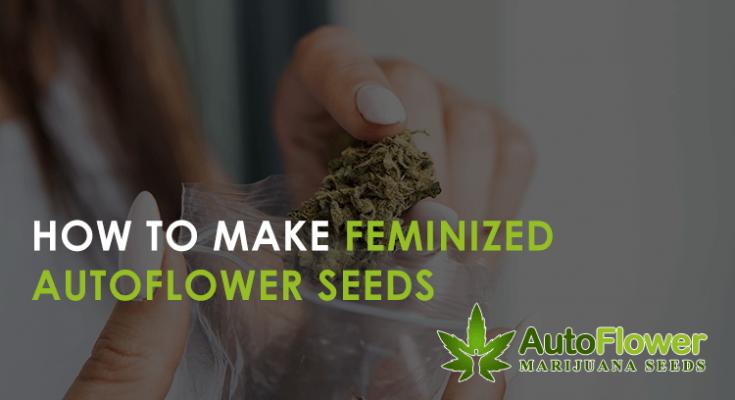 how to make feminized autoflower seeds