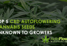 cbd autoflowering cannabis seeds