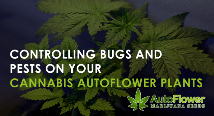 controlling pests on cannabis autoflower