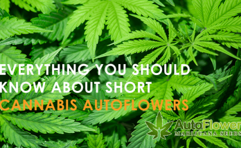 short cannabis autoflowers
