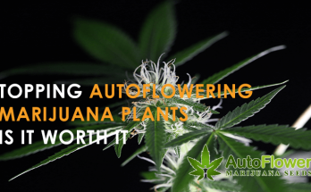 topping autowering marijuana plants