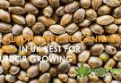 cannabis seeds outdoor uk