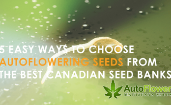 easy to grow autoflowering cannabis