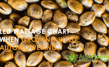 growing weed autoflowering
