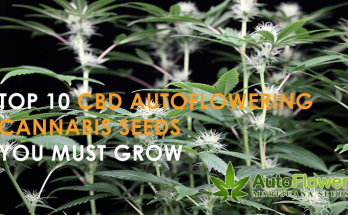 growing cbd autoflowering seeds