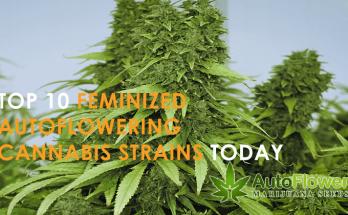cannabis seeds feminized autoflowering