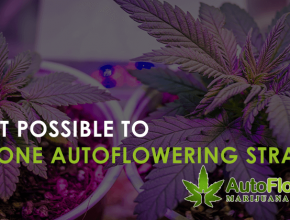 can you clone autoflowering strains