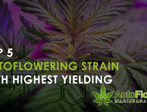 highest yielding autoflowering strains