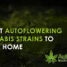 best autoflowering cannabis strains