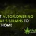 best autoflowering cannabis strains