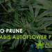 prune cannabis autoflower plants